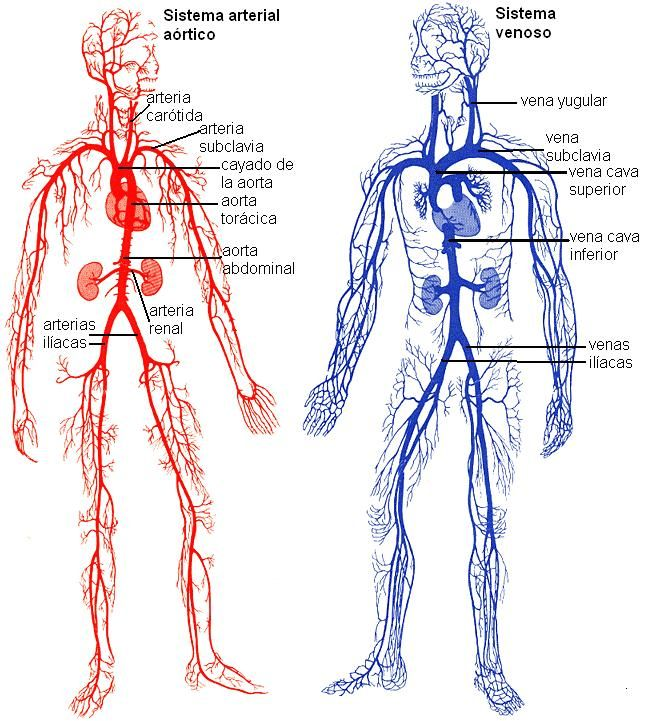 Genomasur Anatomia Medica Anatomia Cardiaca Anatomia Humana Huesos