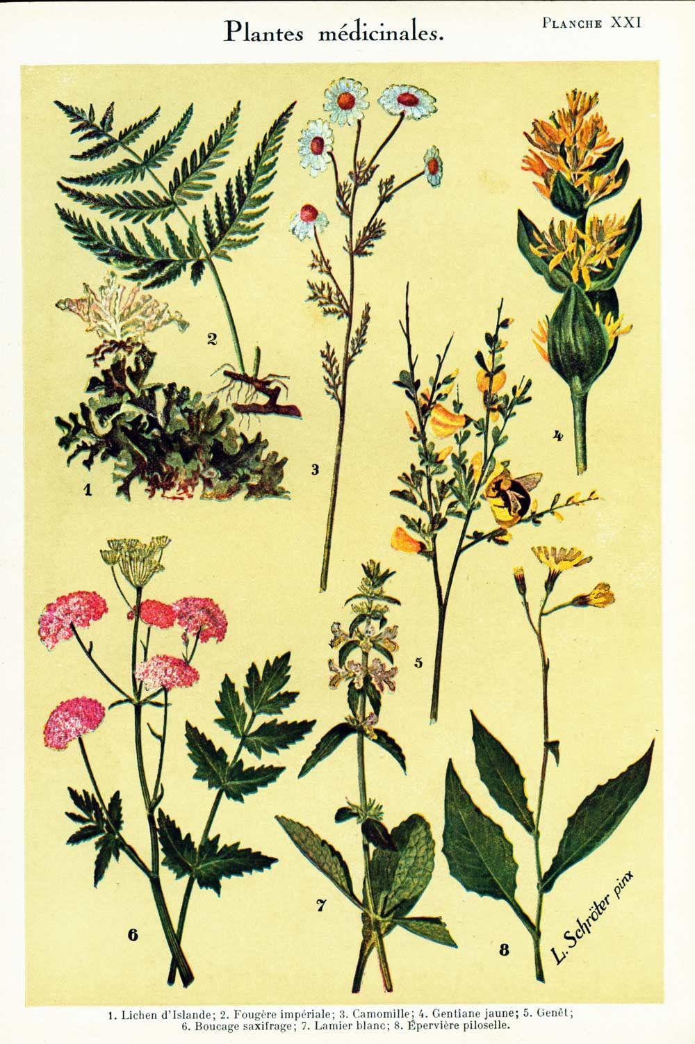 1932 Medicinal Plants Print - Herbalism Plant Decor - Ethnobotany ...