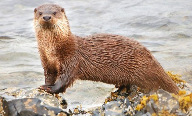 20 Intriguing Animals That Start With The Letter O Otters Animals Otter Love