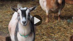 Goat cam still shot