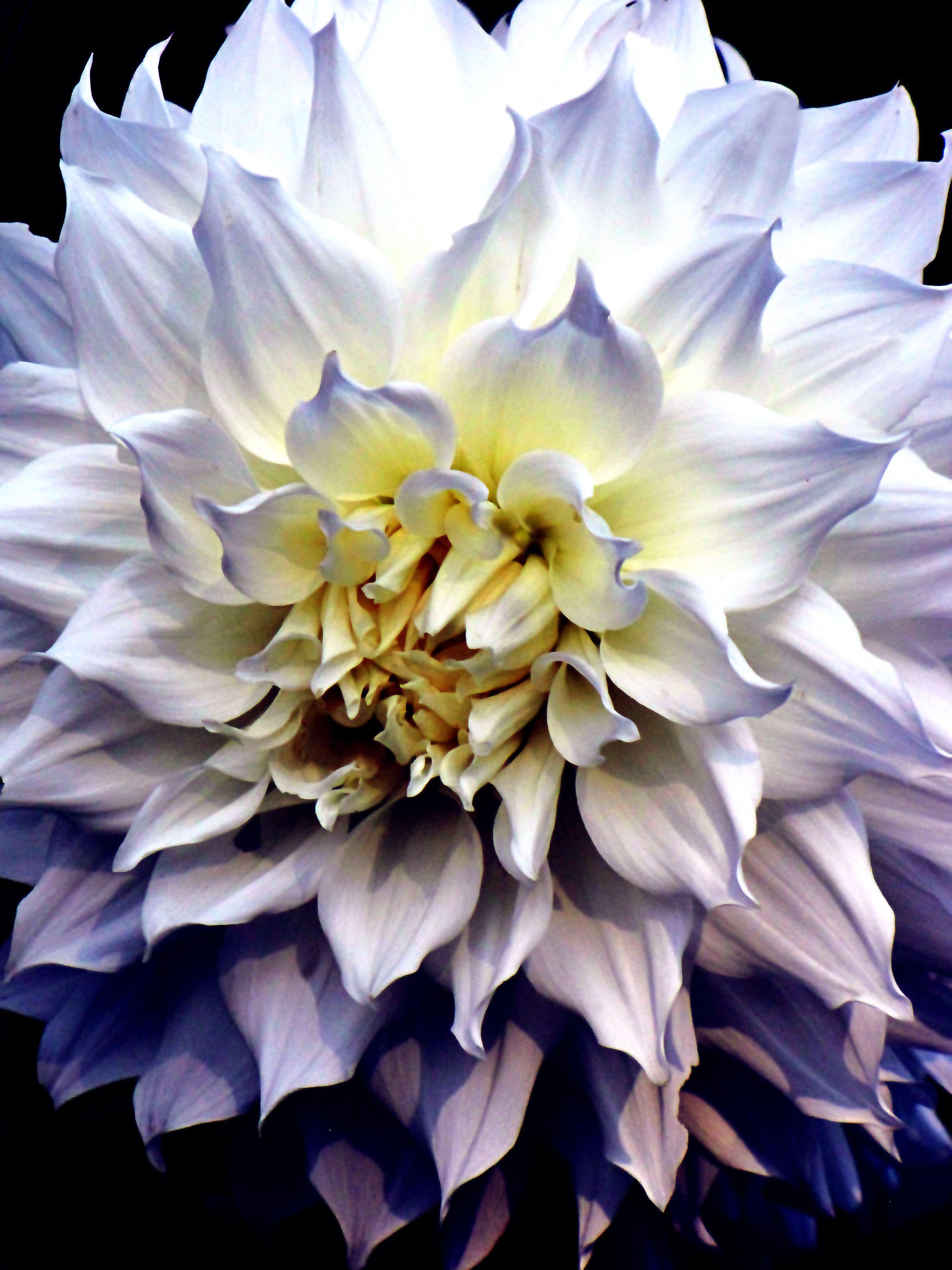 Walter hardisty dahlia flower varieties pinterest dahlia walter hardisty dahlia izmirmasajfo