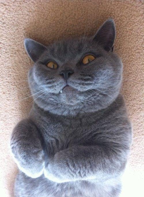 Vampire Cat Evil Cat Cats British Blue Cat