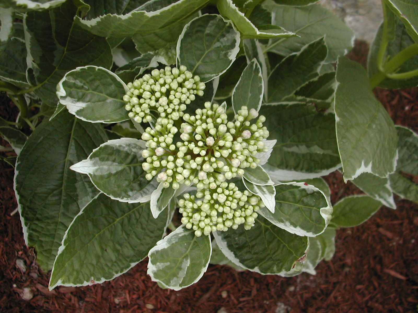 This is a Variegated Leafed Hydrangea. It produces a bloom cluster that changes colors as it matures, as some do. Cookie :)