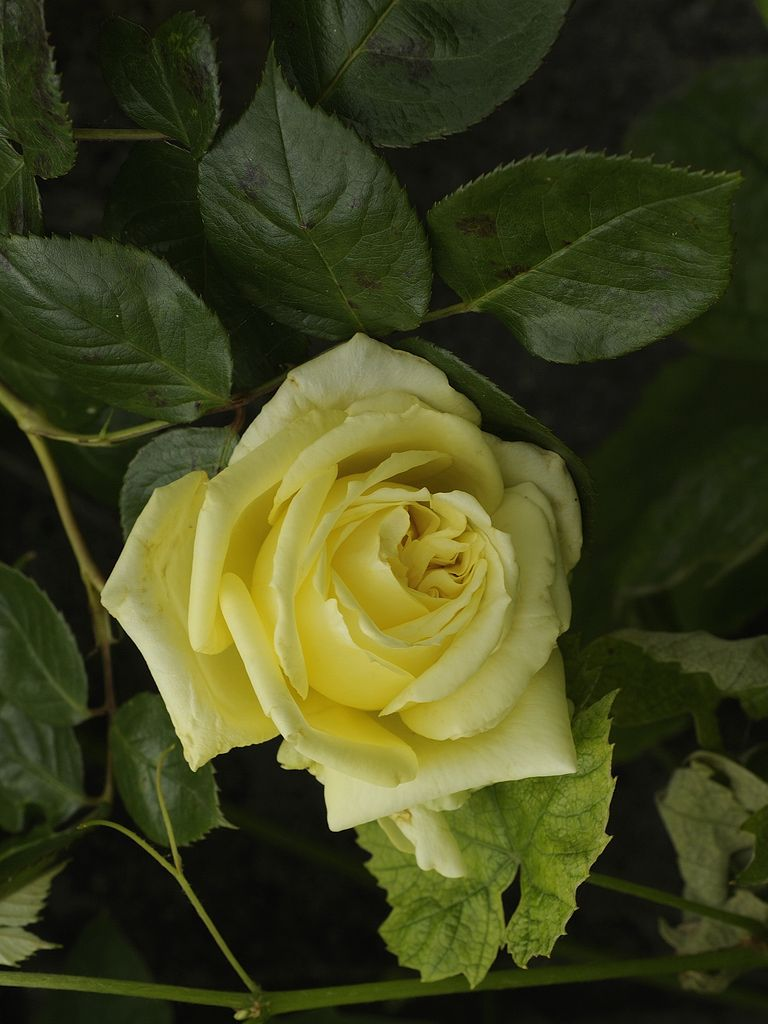 Elfe Roses Pinterest Beautiful Roses Flowers And Yellow Roses