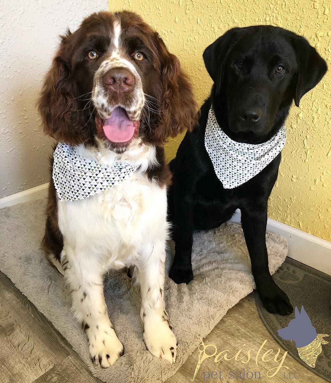 Brothers Moz Juno Are Such An Adorable Pair They Did So Well For Their First Spa Day Moz Juno Springer Sprin Pet Groomers Dog Groomers Dog Grooming