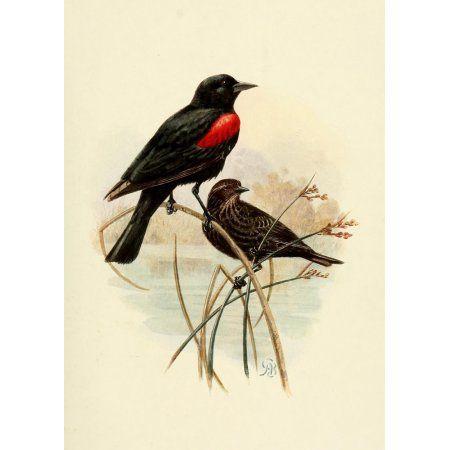 Birds of California 1923 Bicolored Redwing Canvas Art - A Brooks (18 x 24)