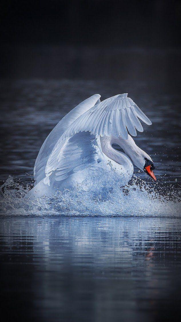 CygnusOlor MuteSwan MuteSwans/Swan/Swans (avec