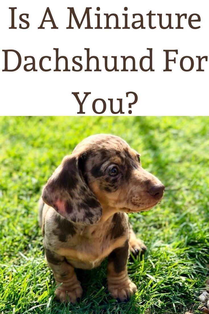 Is A Miniature Dachshund For You Dachshund Dachshund Puppies