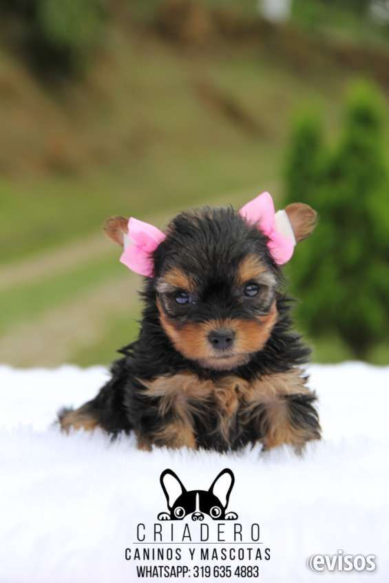 Hermosas cachorras yorkshire terrier MINI (listas para entrega)HERMOSAS CACHORRAS MINI (319 635 48 83 - 301 600 7619)El .. http://medellin.evisos.com.co/hermosas-cachorras-yorkshire-terrier-mini-listas-para-entrega-id-488074