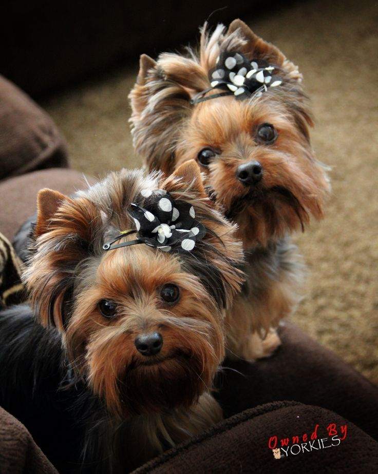 Amazing Puppies Bow Adorable Dog - daca62dea286538f9a9b5f7169f85f8c  Photograph_935142  .jpg