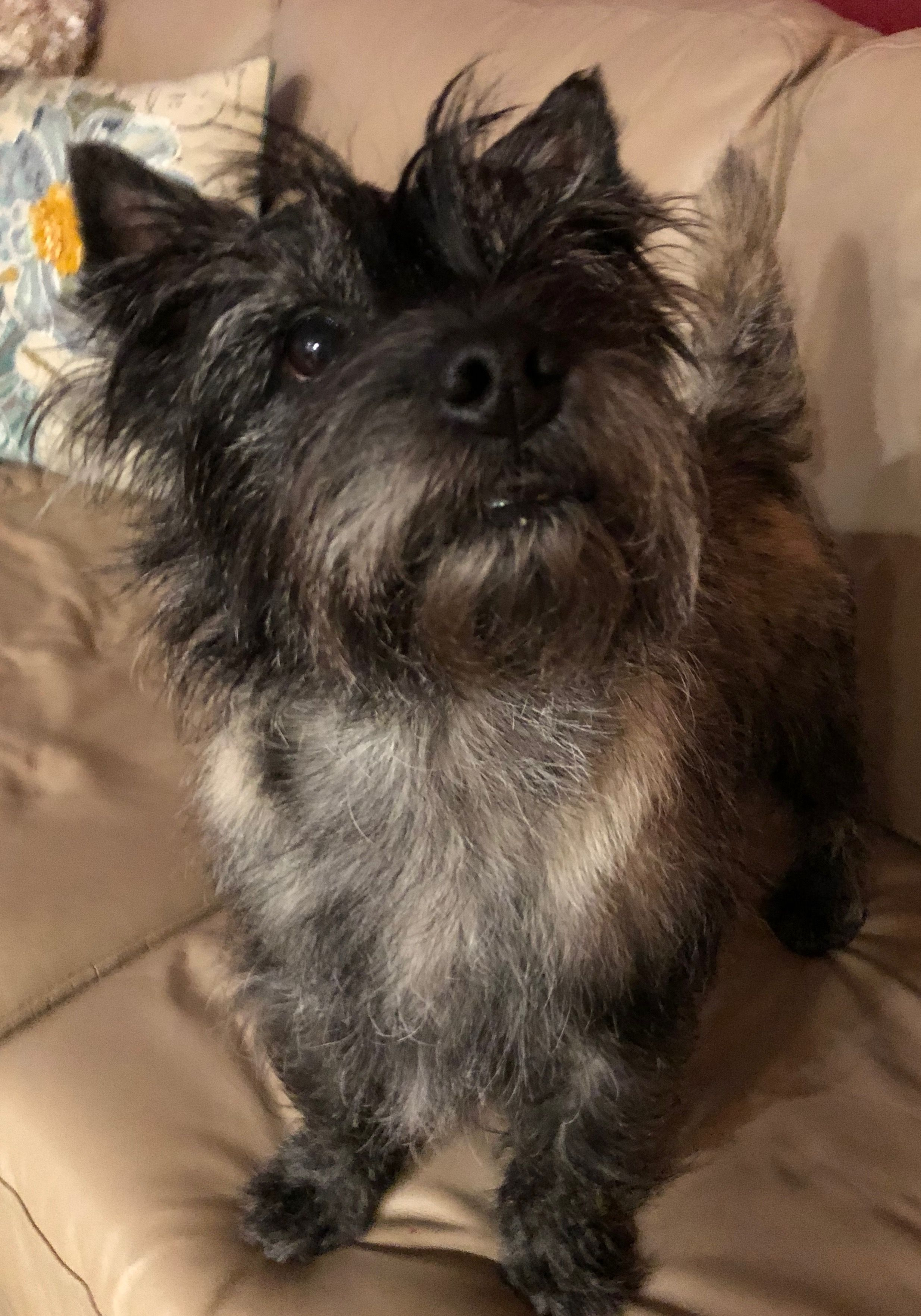 Pin by Martha Watson on Cairn Crazy! | Pinterest | Cairn Terrier Puppies Houston Texas