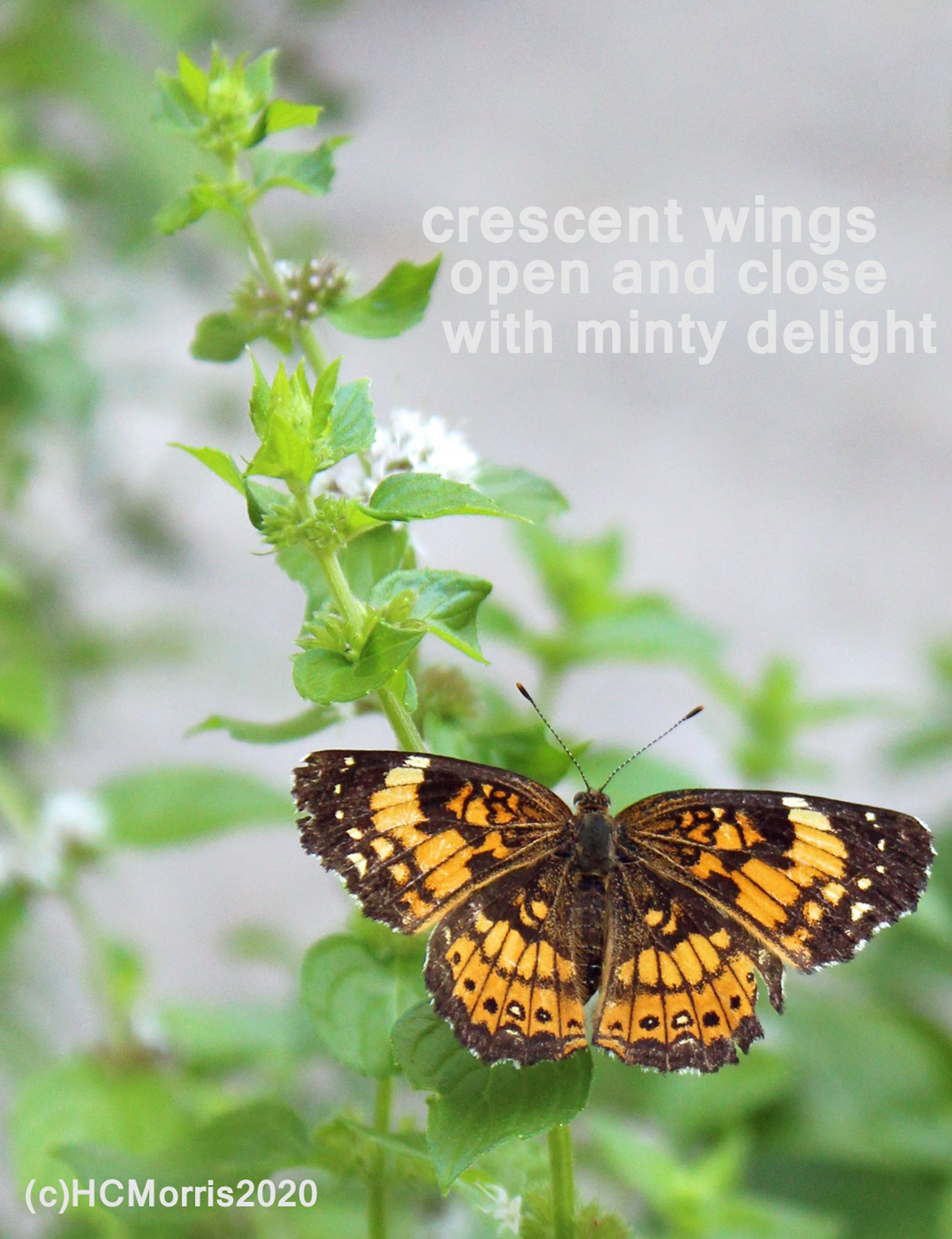 a crescent butterfly in the mint garden with words