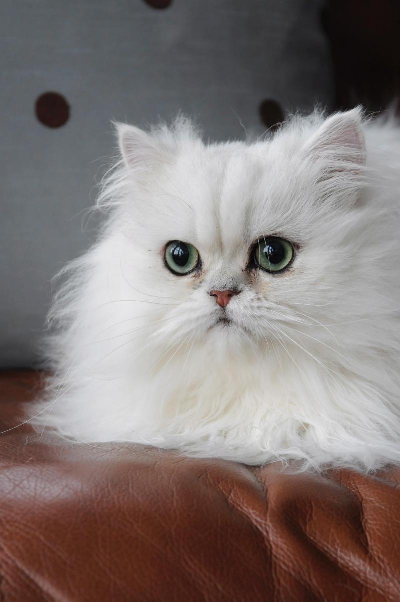 Chinchilla persian cat rescue