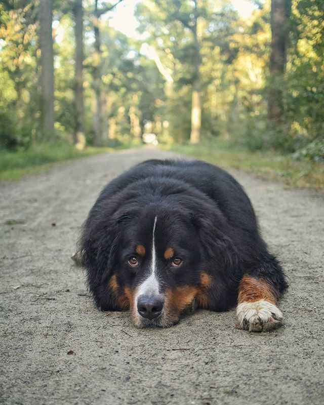 The face I give Boss when he tells me it's time to go back home ... Why do we have to leave the woods 😔🌳 I think it would be much simpler if you just buy me a house here Boss 😜🏡 . #Kamiel #Dog #35months #Bernersennen #Bernesemountaindog #BMD #Weekend #Saturday #Morningwalk #Woods #Notsohappy #Sadpuppy #Grumpy #Why #Backhome #Dontwantto #Stayhere #Alldaylong #Buymeahouseinthewoods #Prettyplease #Anysponsors #Alwayswelcome #Goofball #ilovemydog