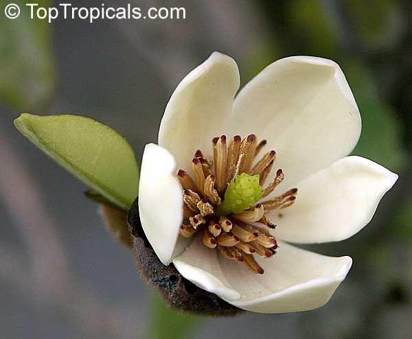 Resultado de imagen para magnolia fuscata jardiner a for Vivero las magnolias