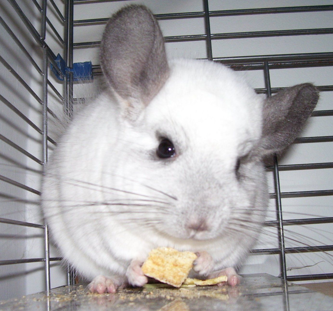 Canadian Chinchilla Rescue Animals Beautiful Chinchilla Pet Birds