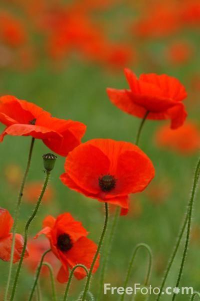 Poppies - FreeFoto.com