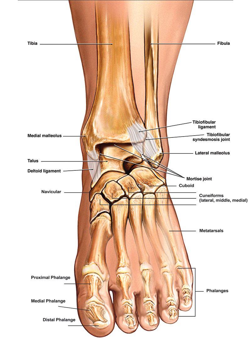 bony foot - Google Search | Anatomy | Pinterest | Anatomy, Foot ...