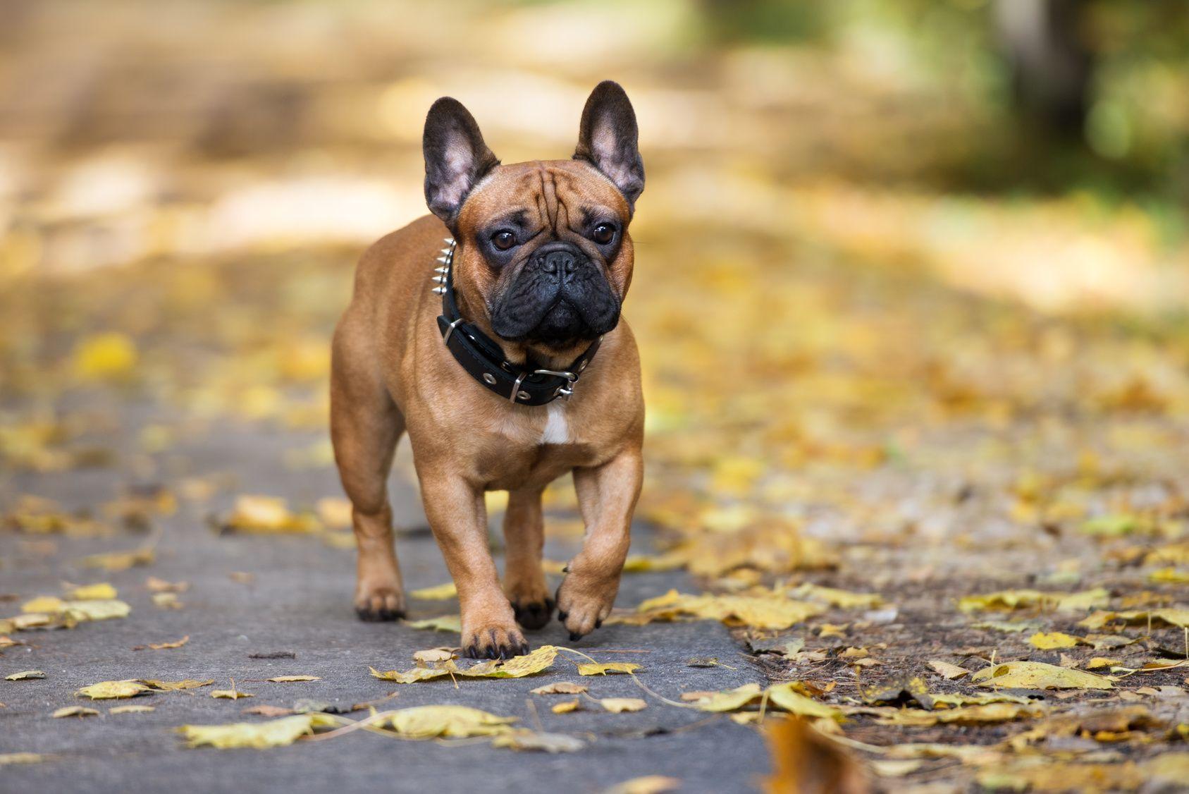 Franzosische Bulldogge Charakter Haltung Pflege Zooplus Franzosische Bulldogge Bulldogge Franzosische Bulldogge Charakter