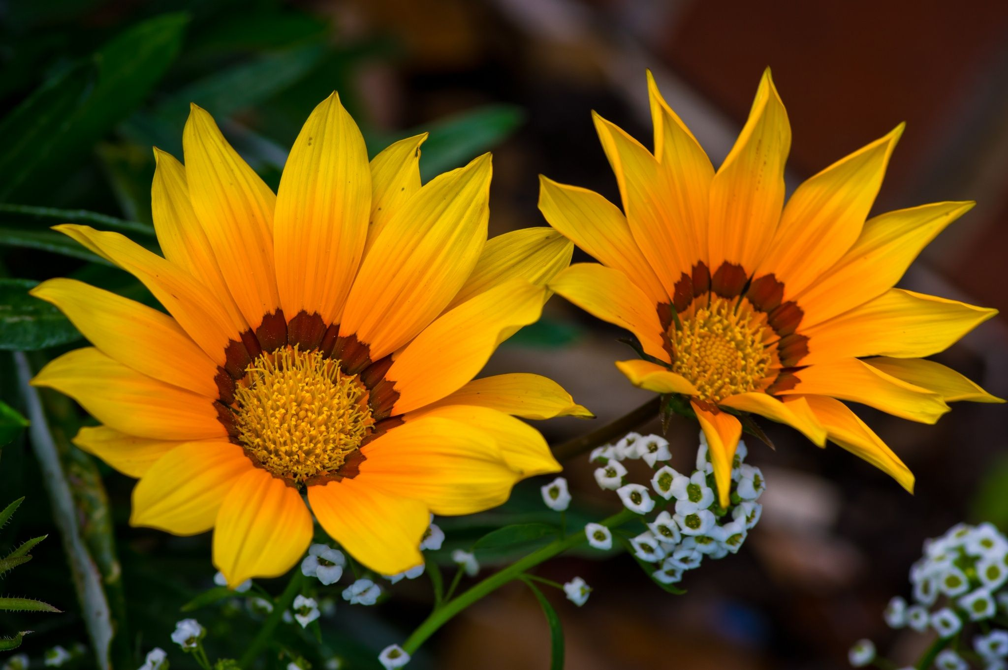 Gazania daisy 2 by Darrell Raw on 500px