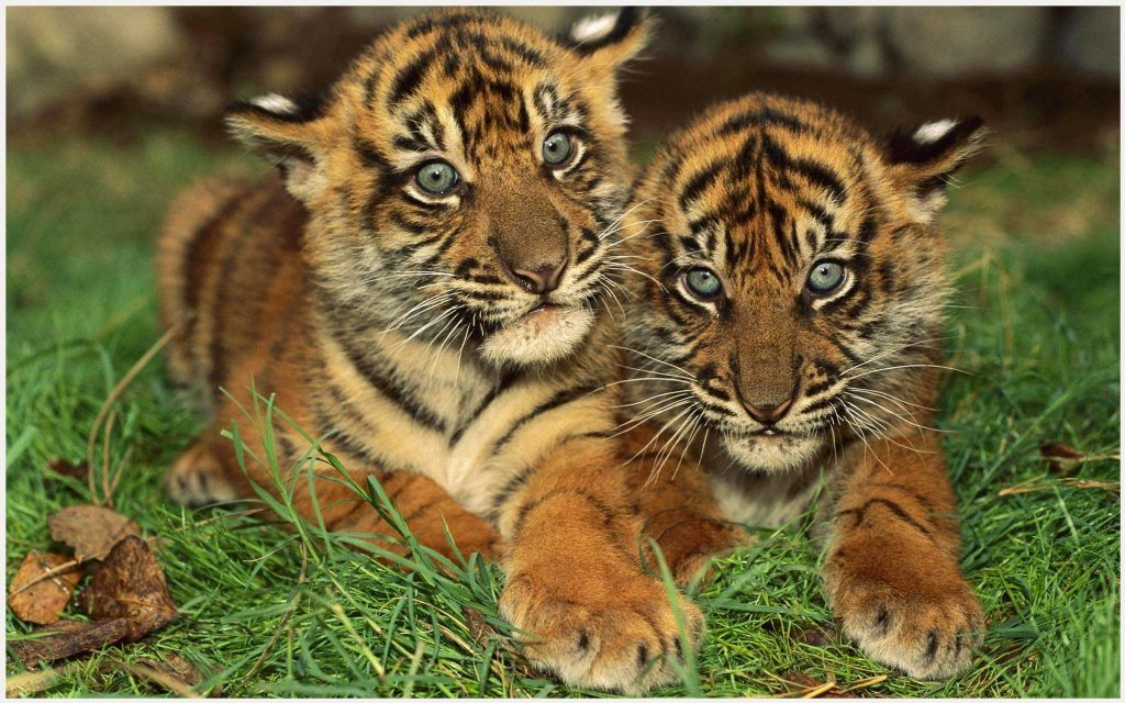 Baby Tigers Wallpaper Baby Tiger Cubs Wallpaper Baby Tiger
