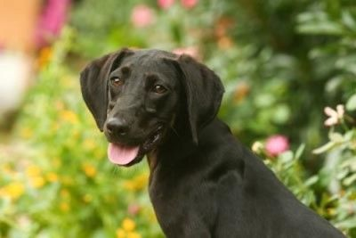 Lorraine Breed Labrador Retriever Hound Mix Dogs Dog Adoption