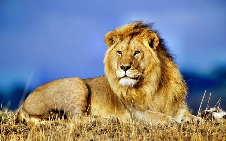 foto de lions | Fond d'écran gratuit lion - Fonds d'écran animaux gratuits ...