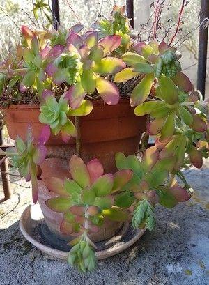 Plante Grasse Exterieur Rustique.Sedum Palmeri Une Plante Grasse Rustique Qui Fleurit En