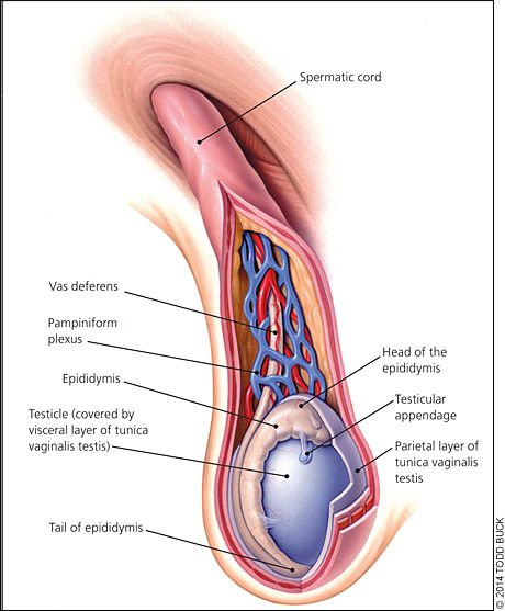 the vas deferens closest to the testicle and just before the, Cephalic Vein