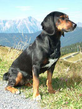 Tyrolean Hound Tiroler Bracke Dogs Puppy Tiroler Bracke Jagdhunde Hunde