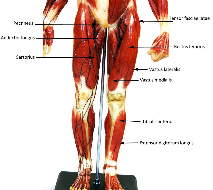 Small Muscle Man Labeled Human Anatomy Web Site Quiz