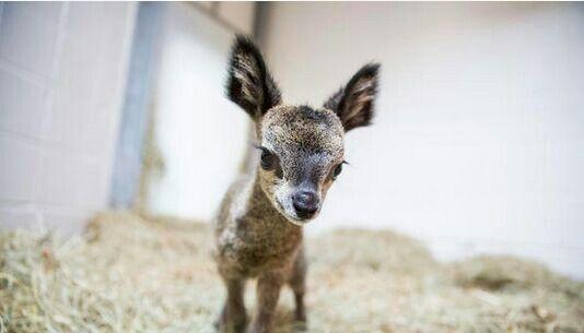 Klipspringer... dwarf antelope baby