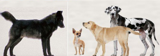 15 Differences Between Dogs And Wolves Dogs, Wolf, Dog cat