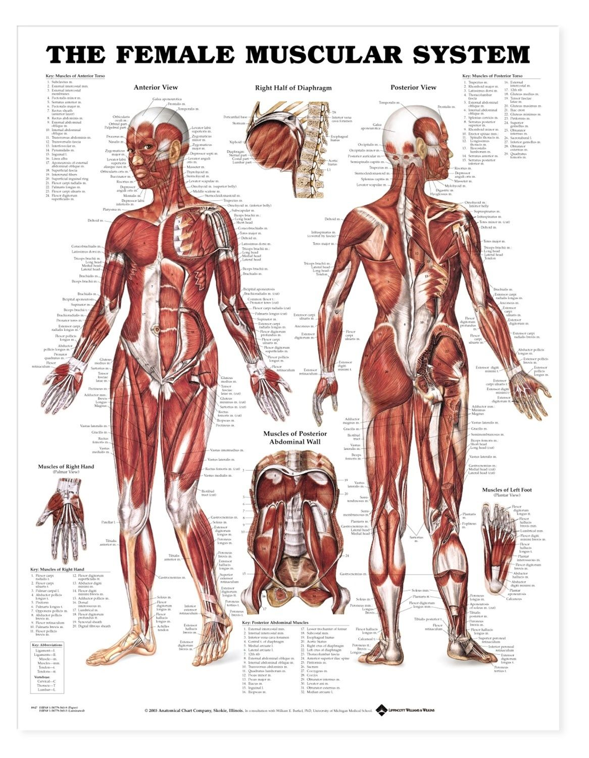 Anatomy Of Woman Muscle Human Anatomy 3d Reference ...