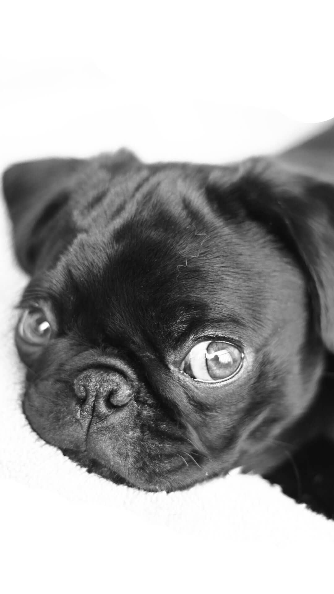 Cute Pugs Puppies iPhone 6 Wallpaper HD Animal Wallpaper