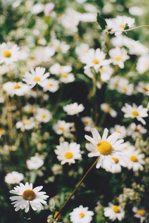 Daisy wallpaper Beautiful flowers, Flowers, Happy flowers