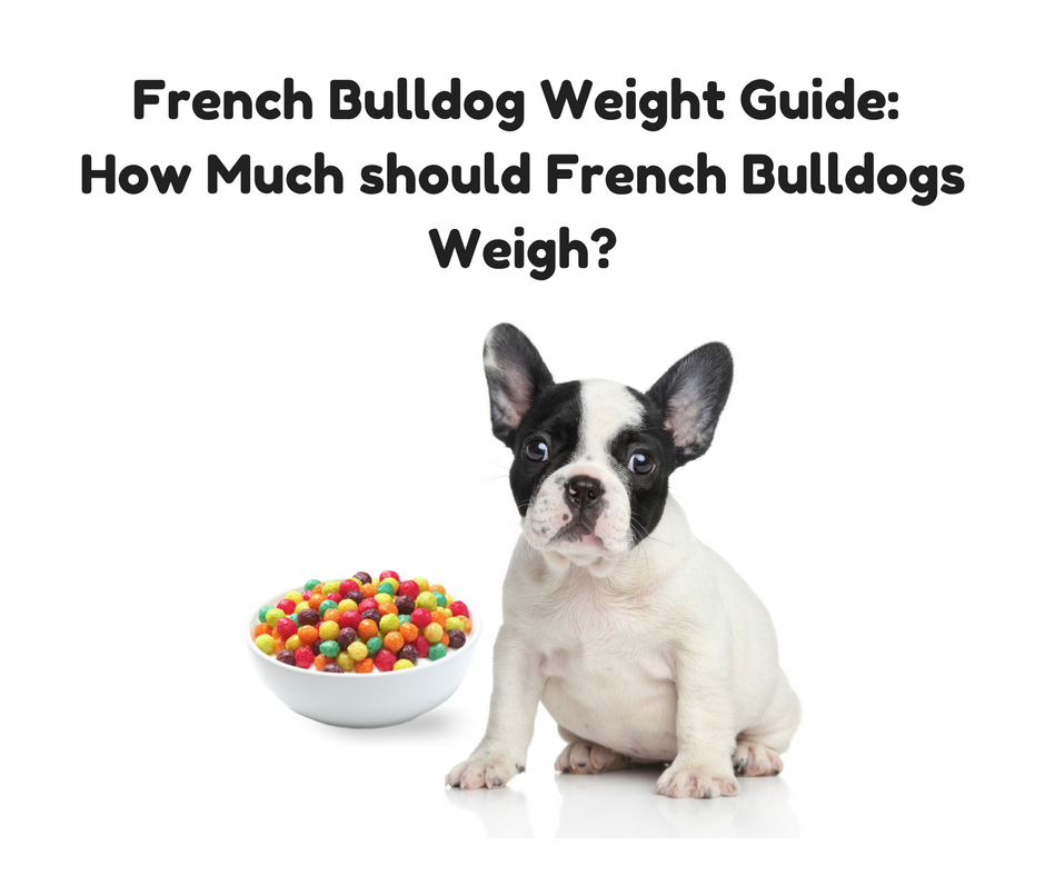 French Bulldog Weight Guide (How Much Should French