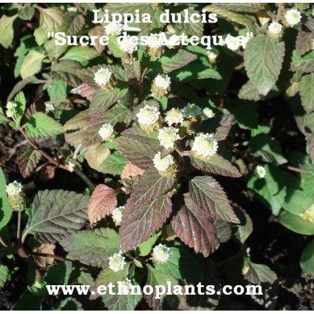 Lippia dulcis SUCRE DES AZTÈQUES (20 graines) | Planter des graines, Graine, Petit arbuste