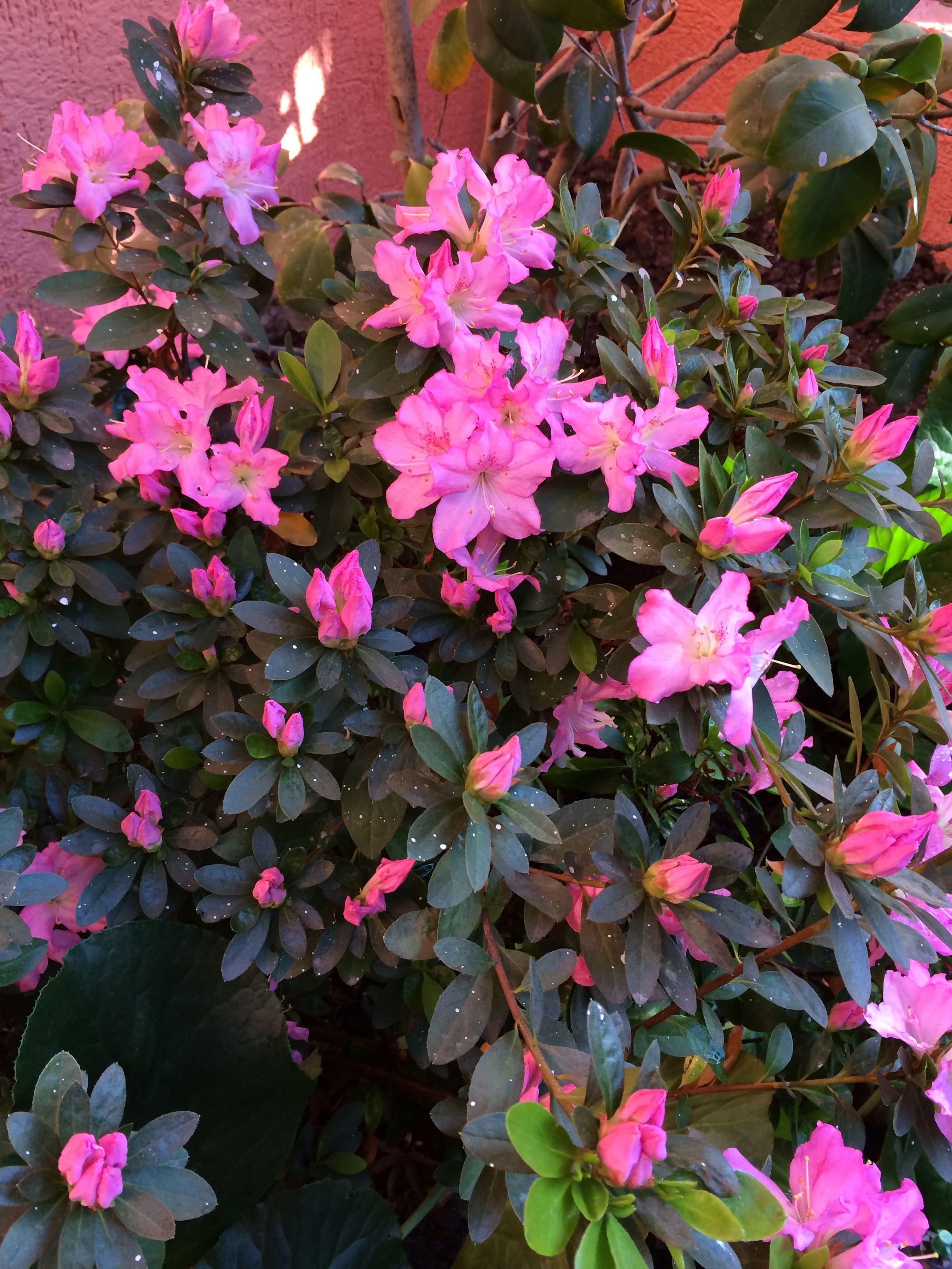 Azaleas de mi jardín Flores, Jardines, Cactus