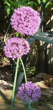 Allium Hollandicum Purple Sensation Allium Purple Sensation Added By Jan Helle Plants Allium Flowers