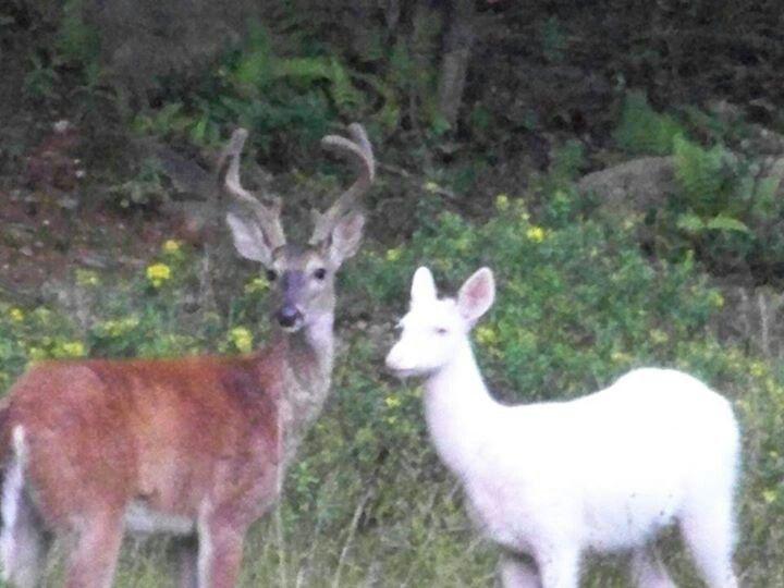 Albino Deer Big Bear Lake In Bruceton West Virginia John Walter Camping In North Carolina Key West Camping West Virginia