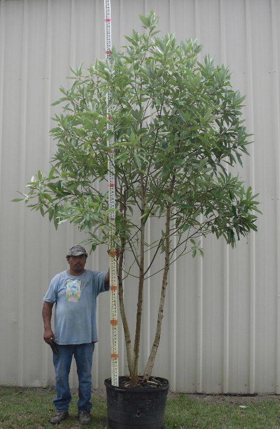 magnolia virginiana | Plant Material | Pinterest ...