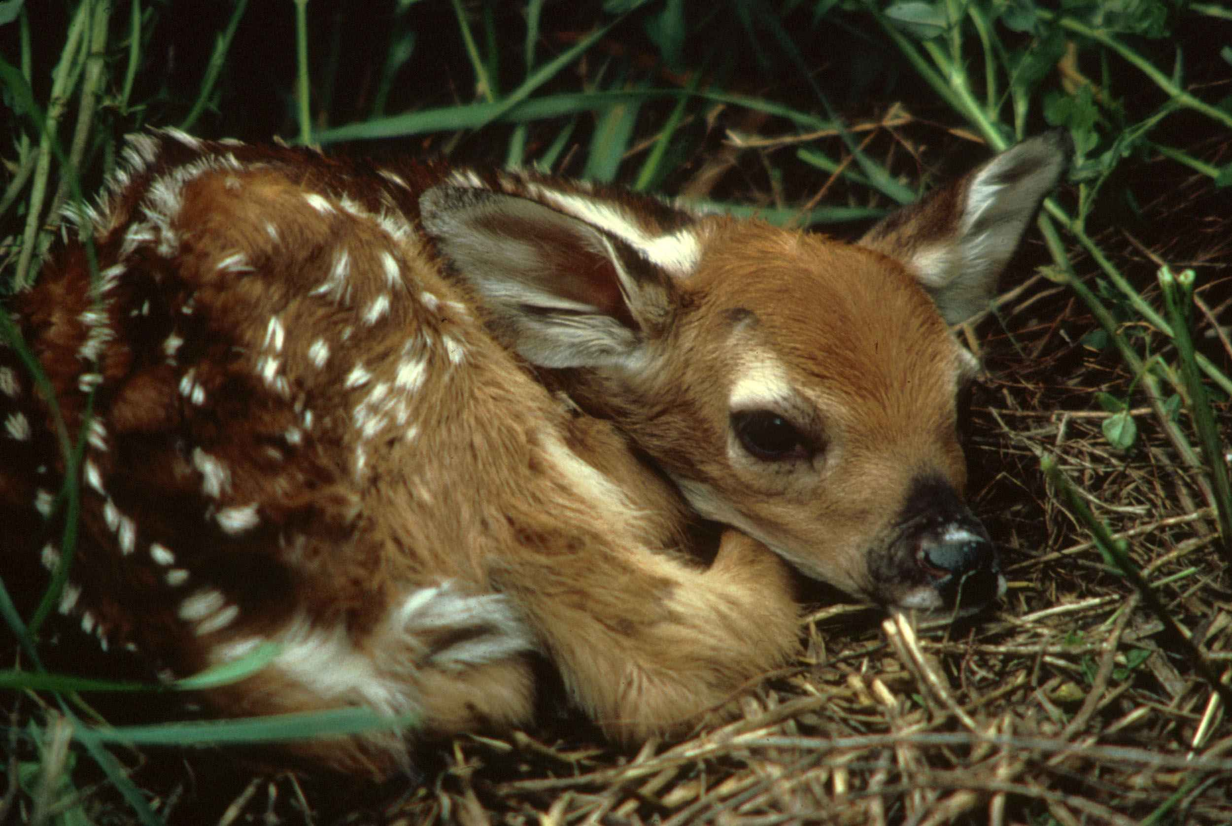 white deer - - Yahoo Image Search Results