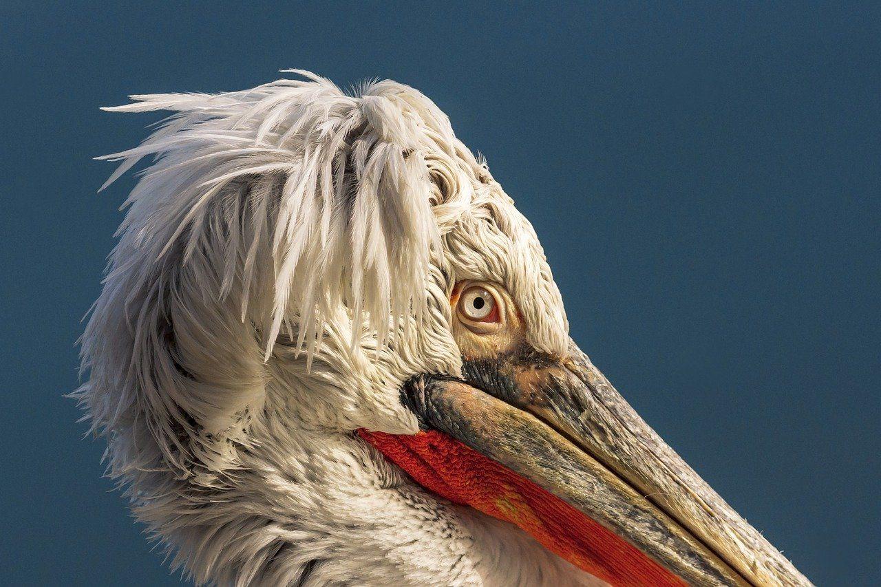 Pelicans Birds Flights, #Pelicans, #Flights, #Birds