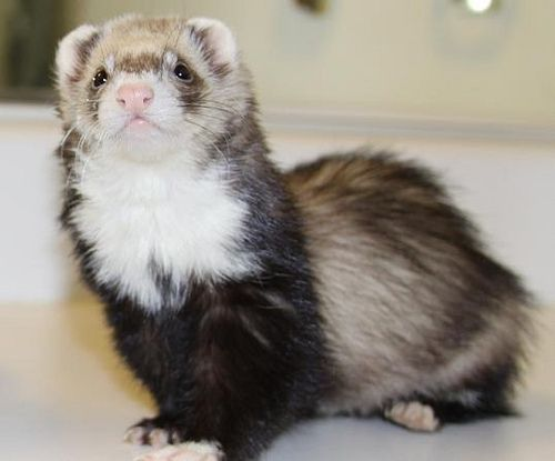 A New Push To Legalize Ferrets As Pets In California Pet Ferret Ferret Cute Ferrets