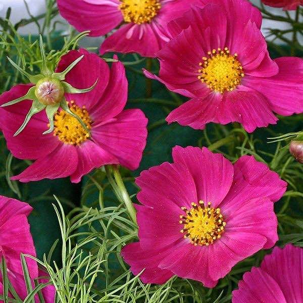 Hot Pink Cosmos Annual Flower Seeds Flower Seeds Annual Flowers Beautiful Flowers Garden