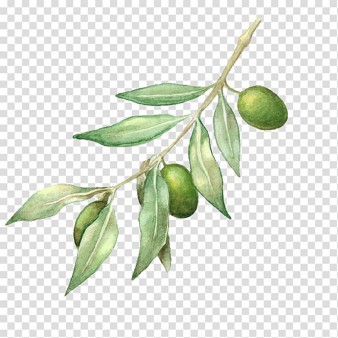 Green Leafed Plant With Green Fruit Illustration Olive Oil Olive Branch Drawing Olive Oil Transparent Back Olive Branch Art Branch Drawing Fruit Illustration