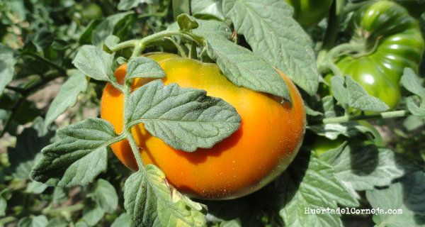 Tomates tipo marmande madurando