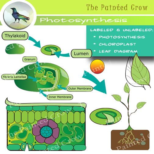 Leaf Diagram And Photosynthesis Clip Art Color And Blackline