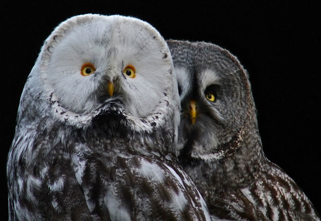 The great grey owl or great gray owl (Strix nebulosa ...